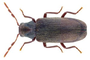 Image of furniture beetle / woodworm